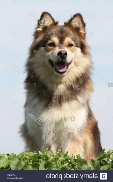Laponie : chiens de traineaux - Forum de voyage en Europe : conseils